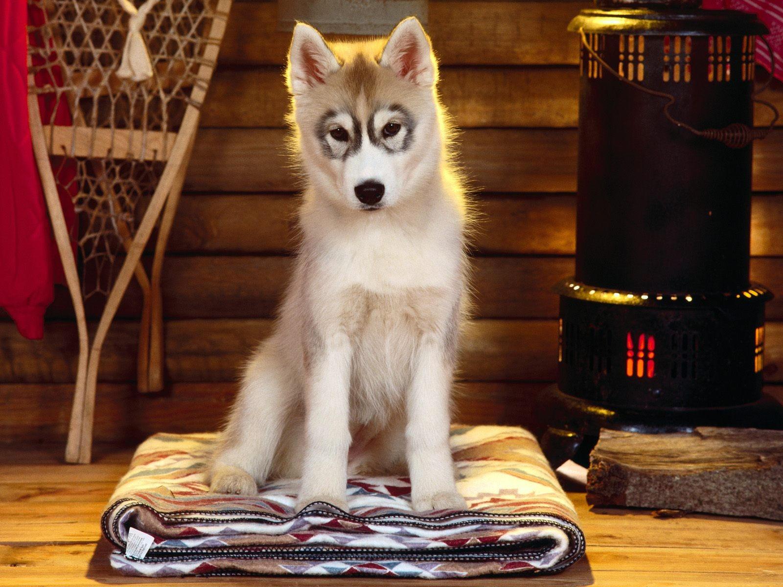 Собака хаски в доме