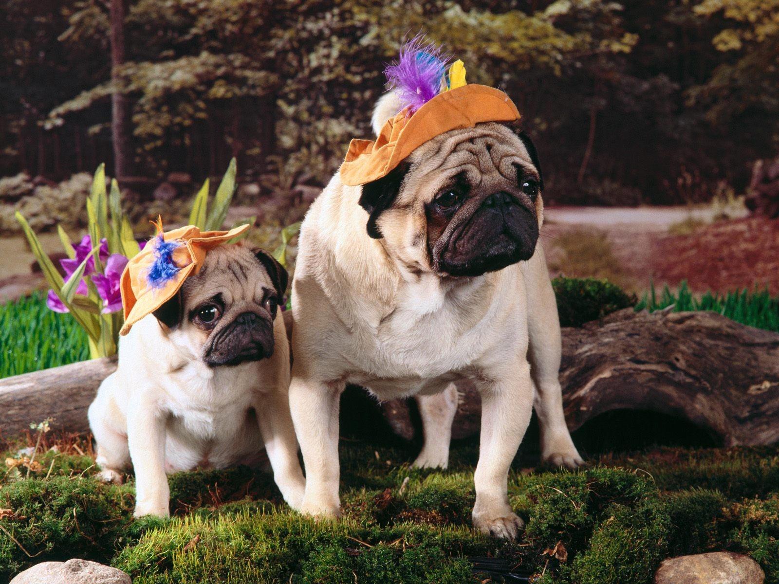 Два мопса в весеннем саду