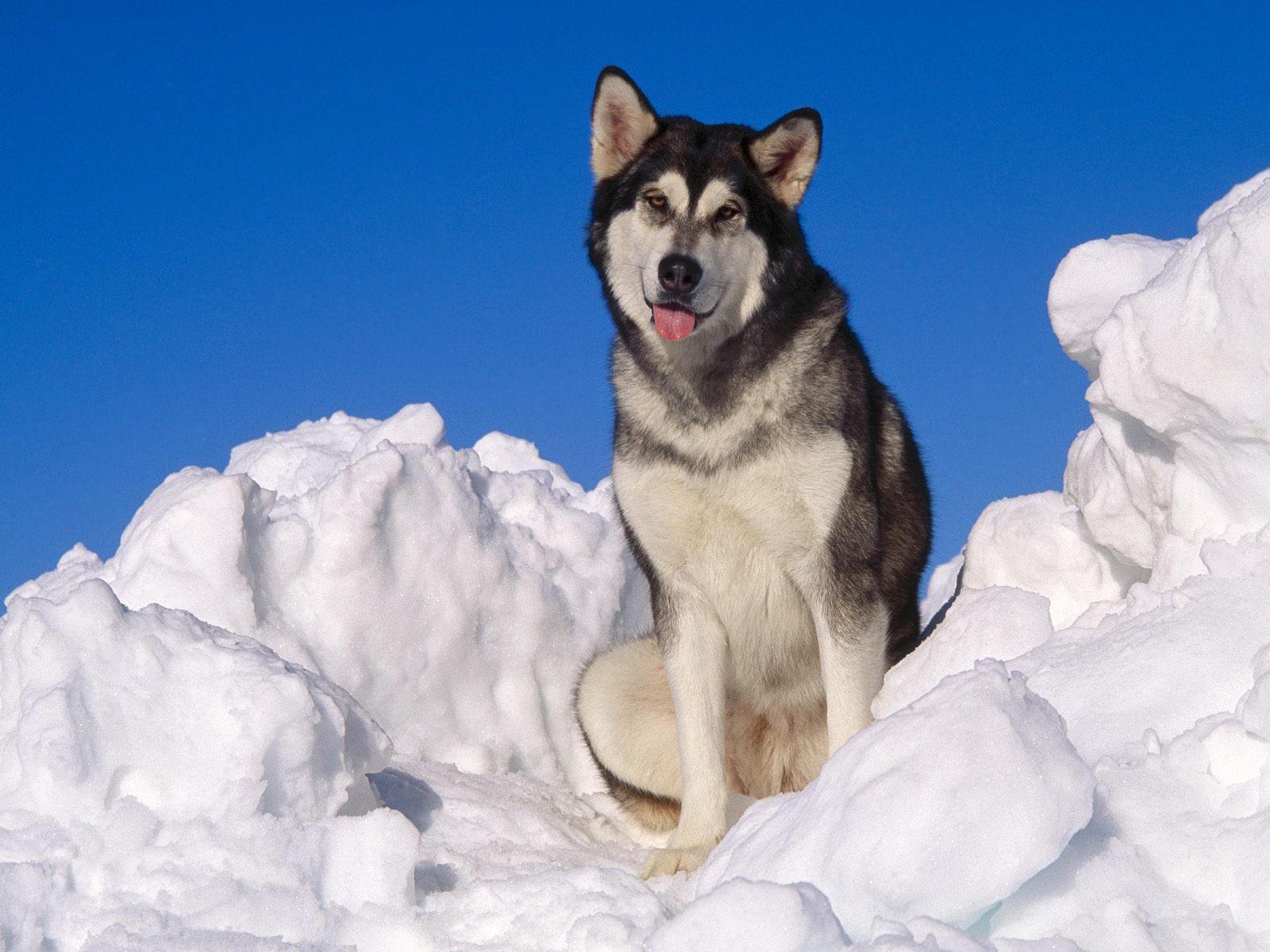 Лайка в снегу