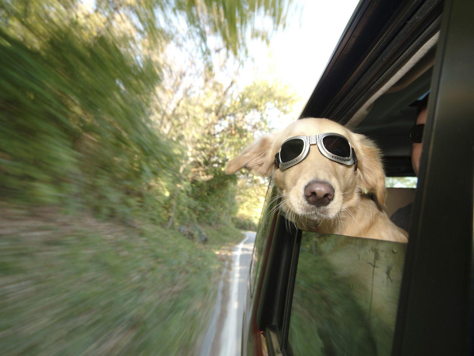 Смешные фото собак в машине, открытки карандашом
