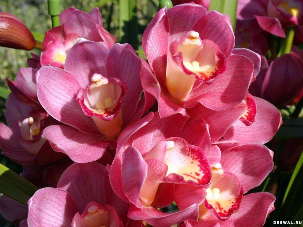 Виды орхидей. Классификация групп орхидных - Комнатные 23