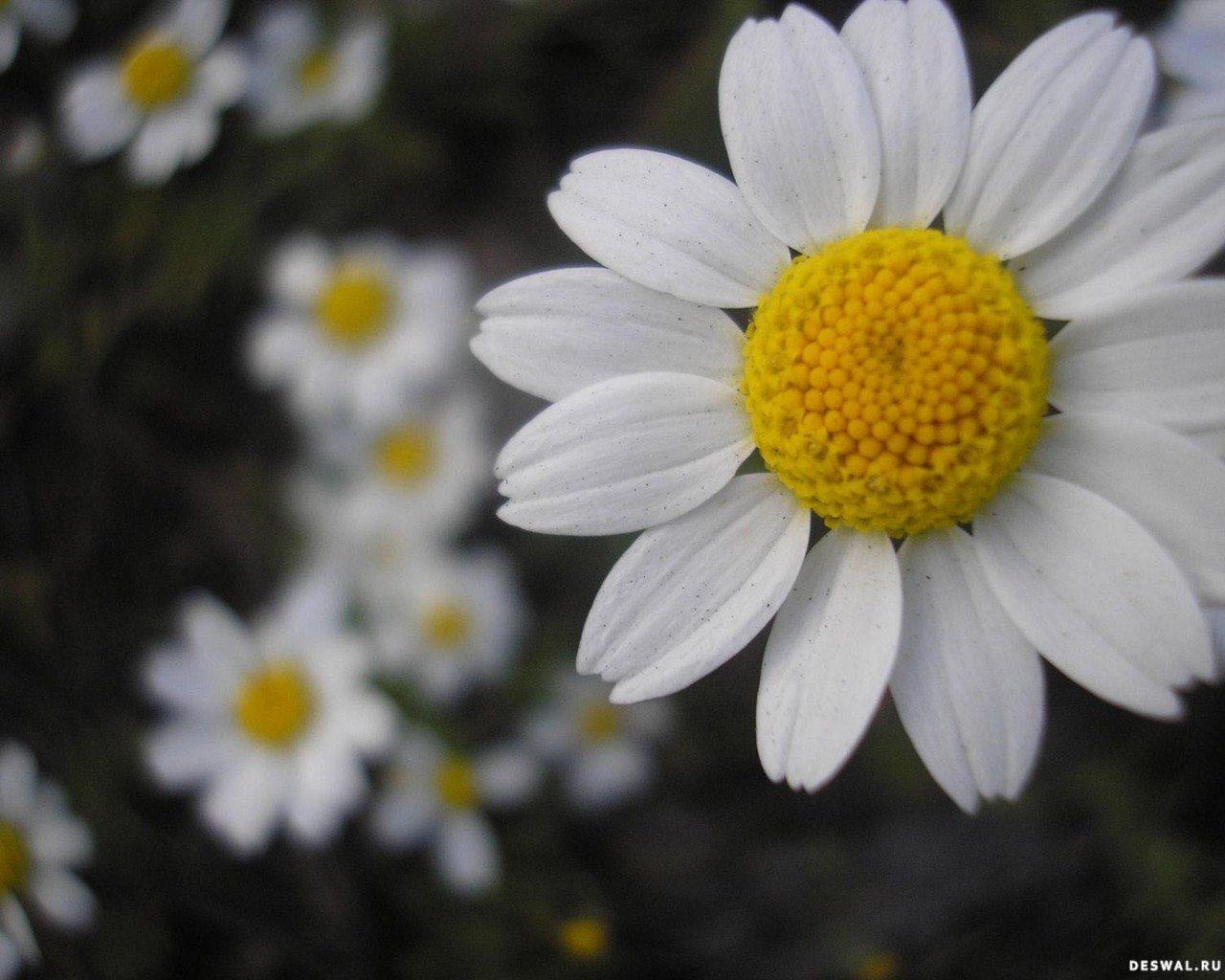 Ромашки нажмите на картинку с цветами