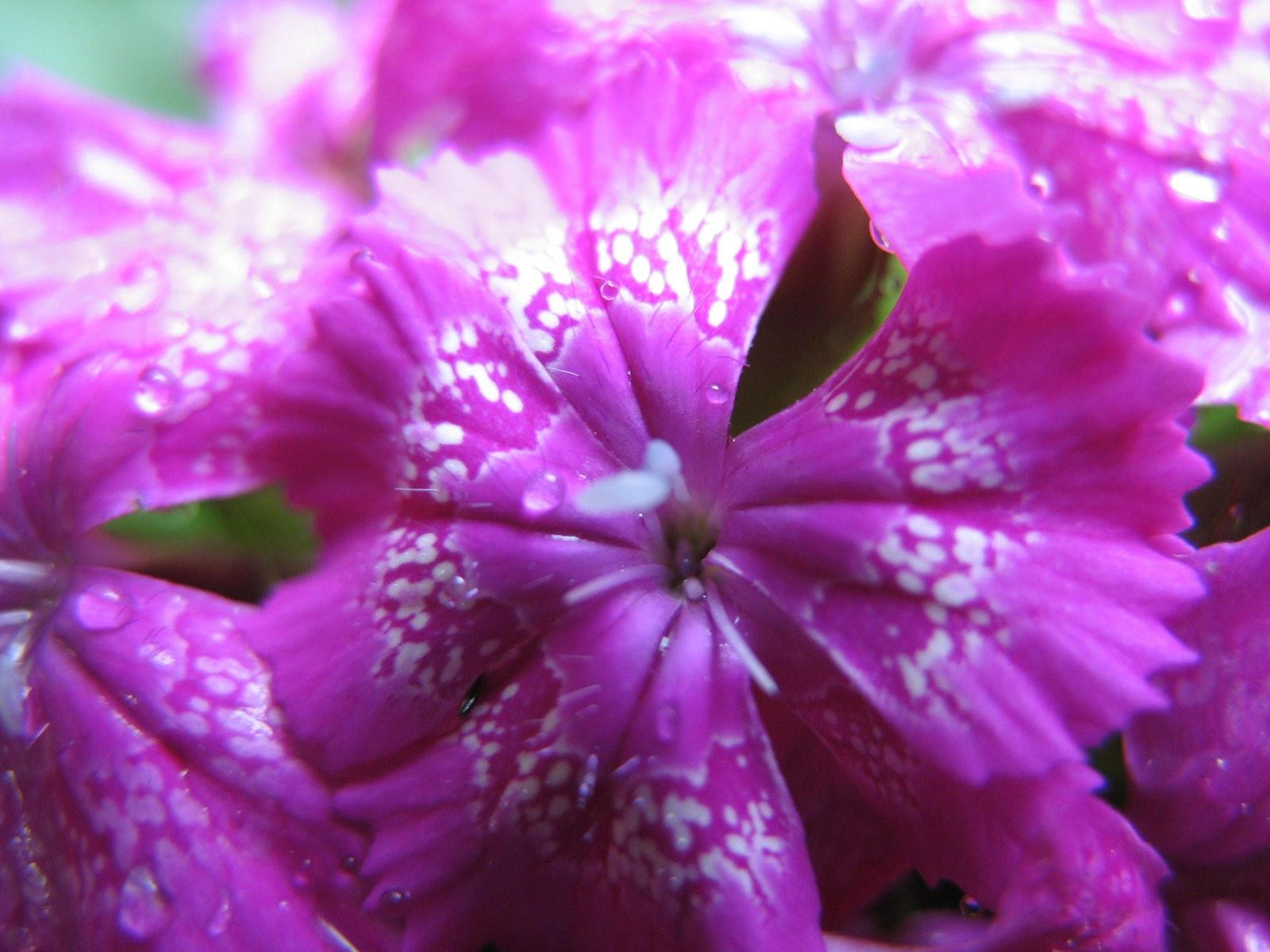 Цветущая гвоздика