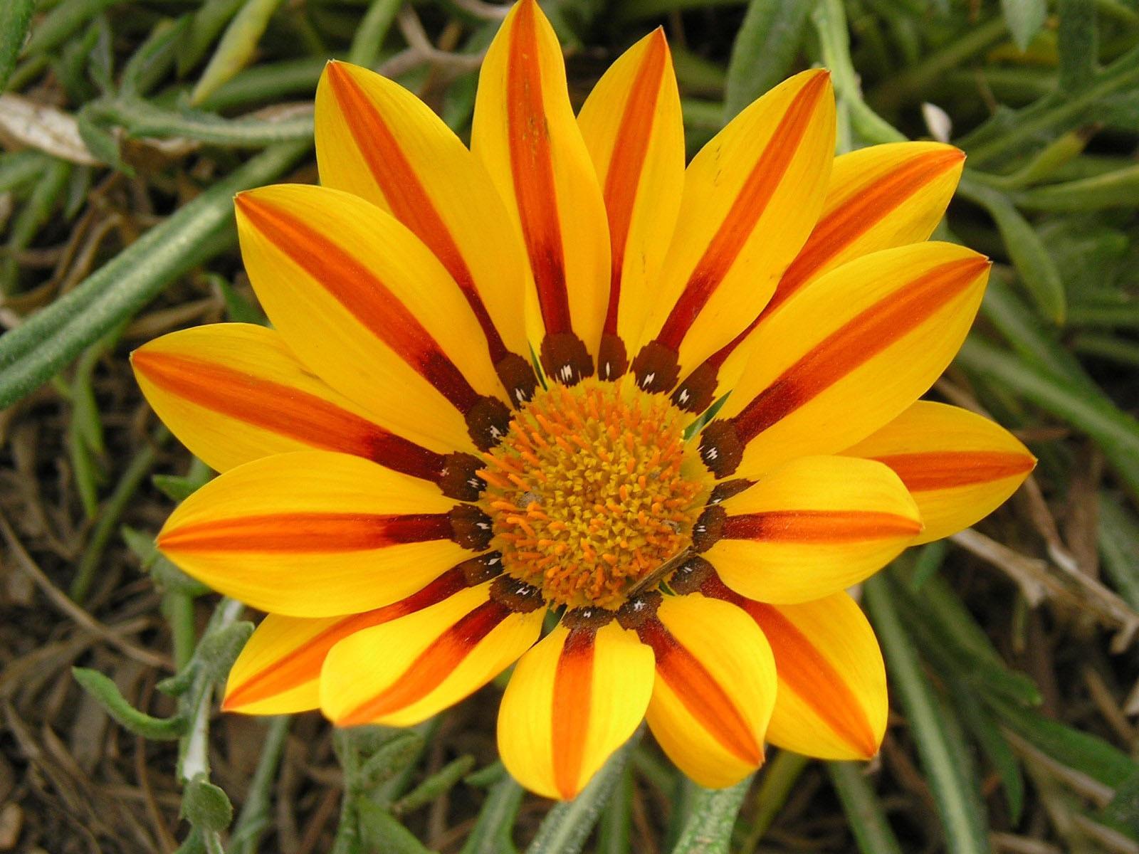 Цветок желтый с оранжевыми прожилками на лепестках