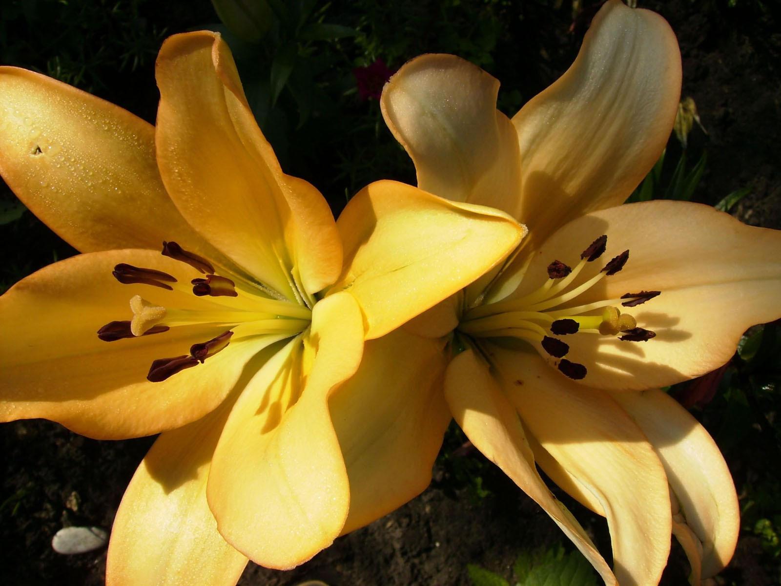 Желтые лилии