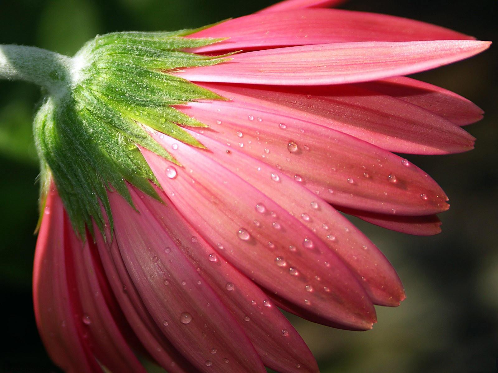 Розовой цветок