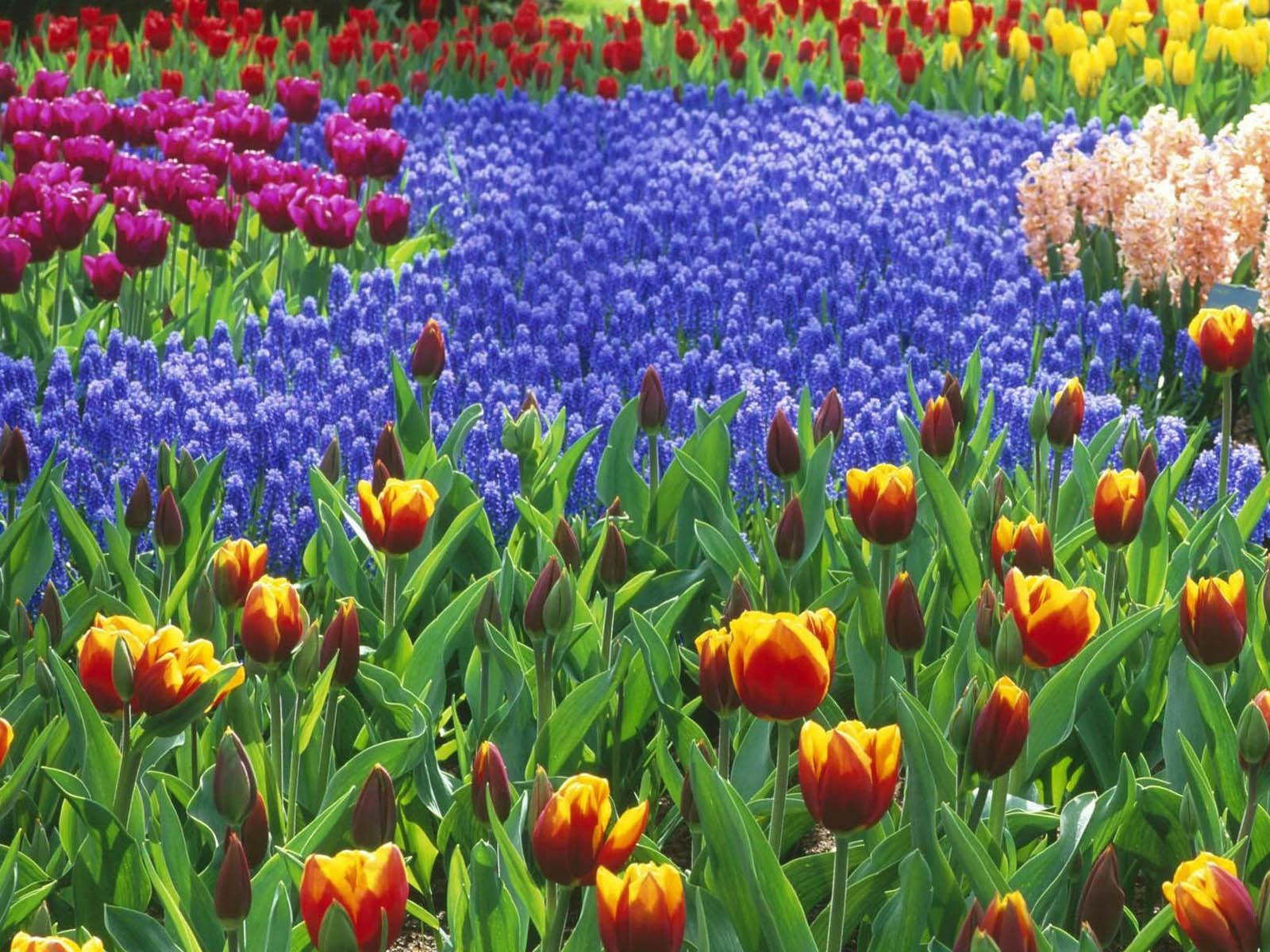 Клумба разноцветных тюльпанов
