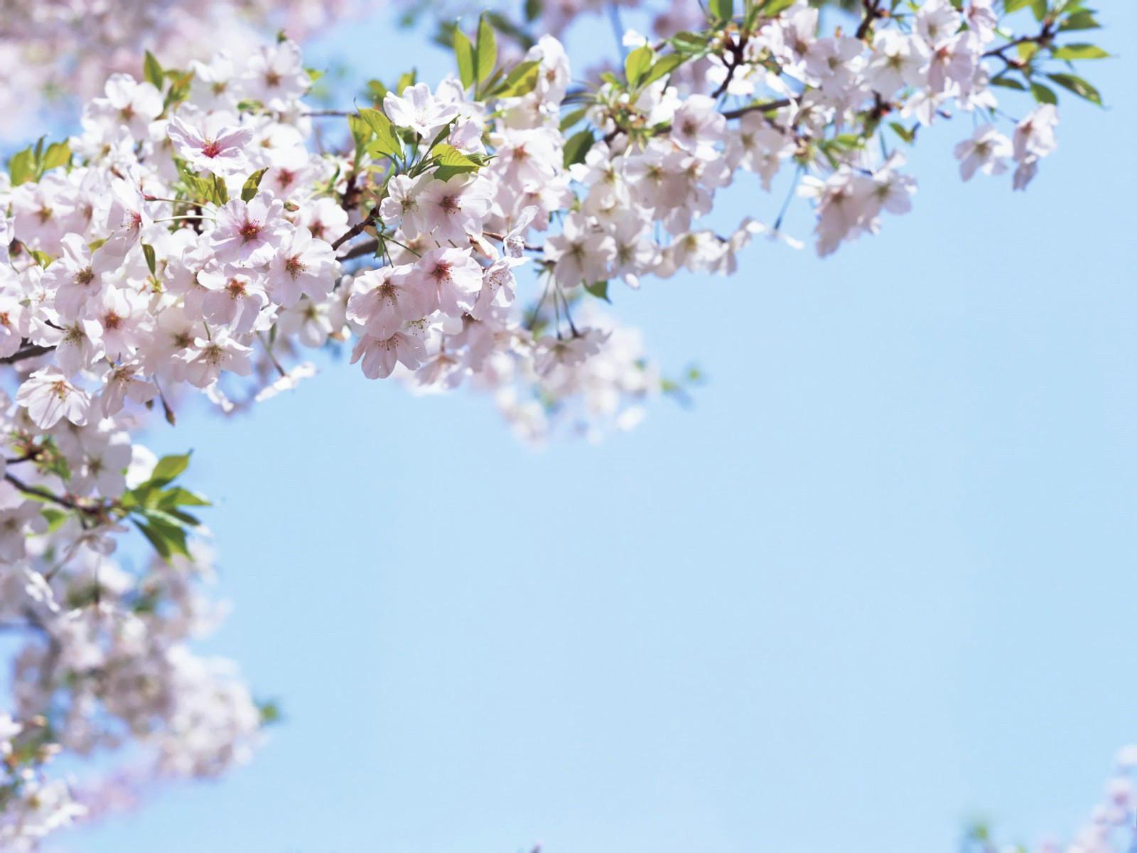 фото цветов вишни: