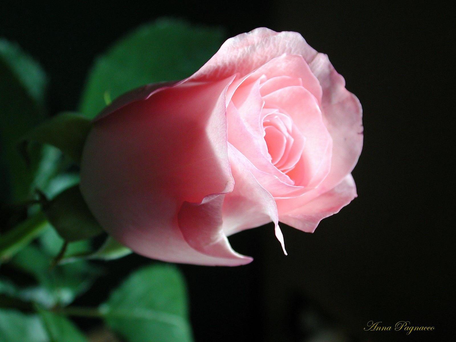 Розовая роза цветок фото