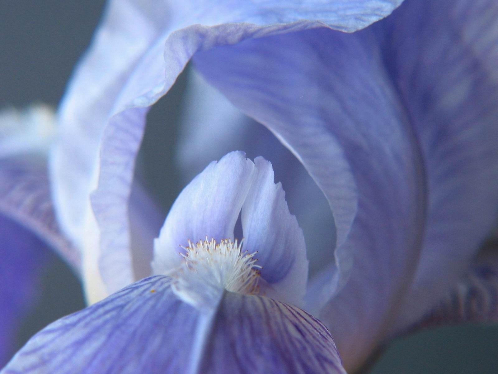 Светло-голубой ирис
