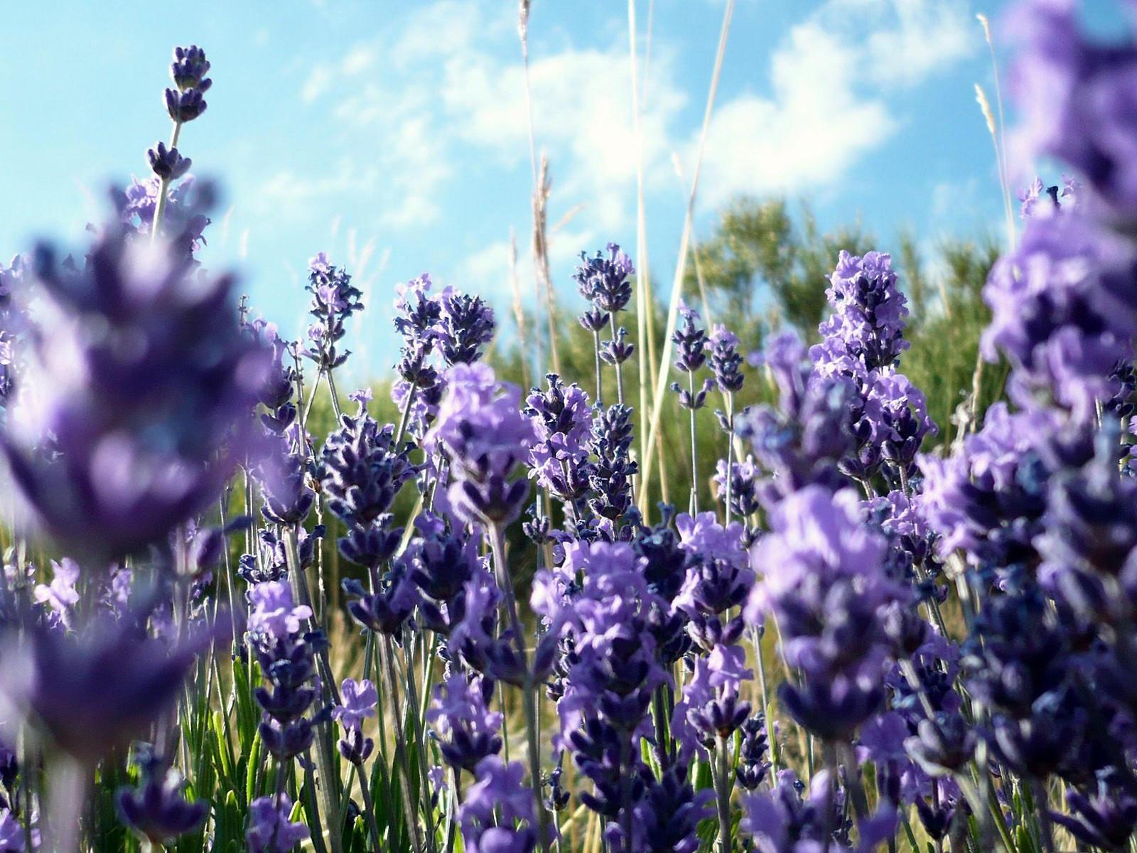 Сиреневые  луговые цветы
