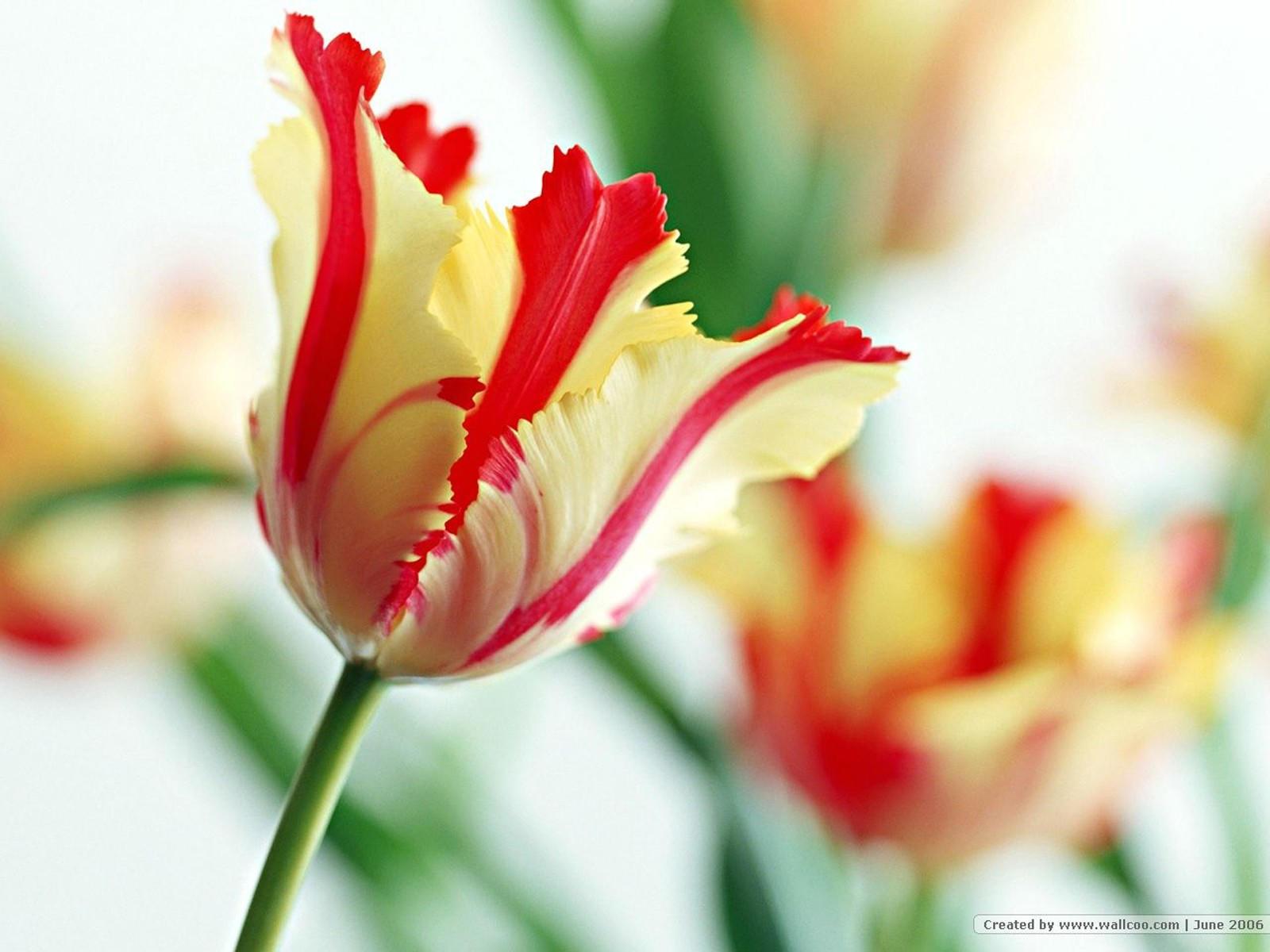 Желто-красный тюльпан