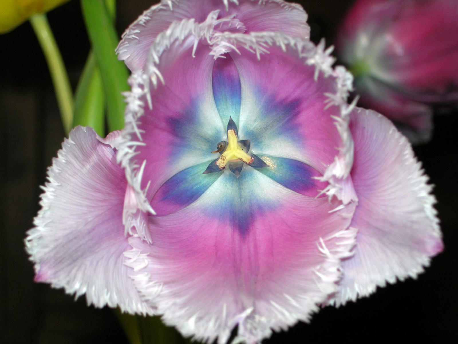 Декоративный мохнатый тюльпан