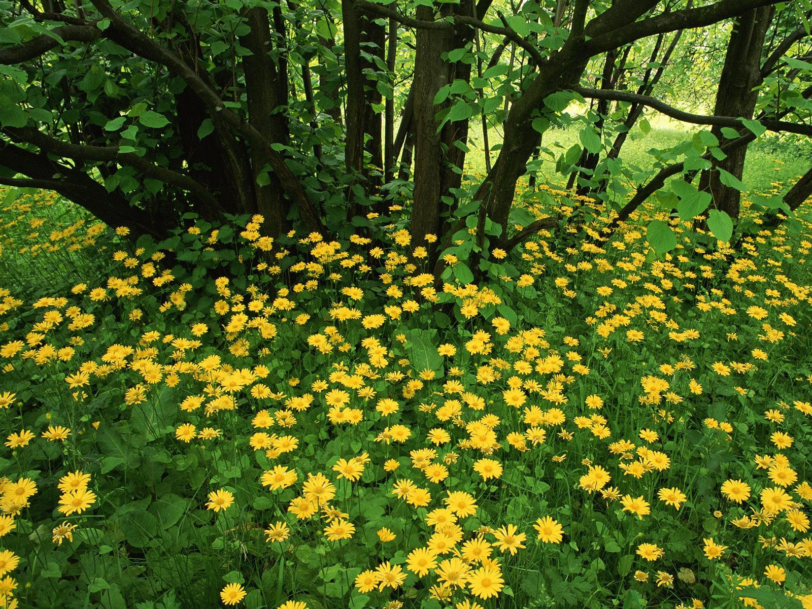 Желтый лесной цветок