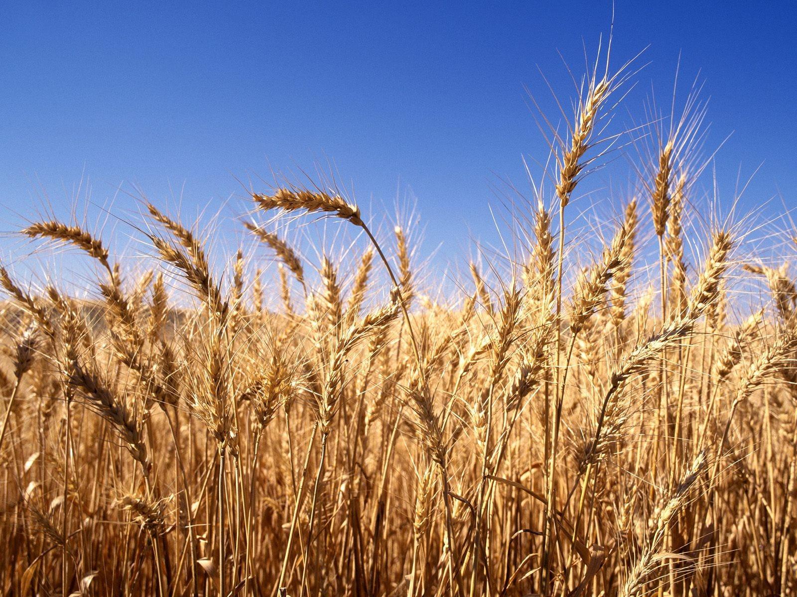 поле пшеничное фото