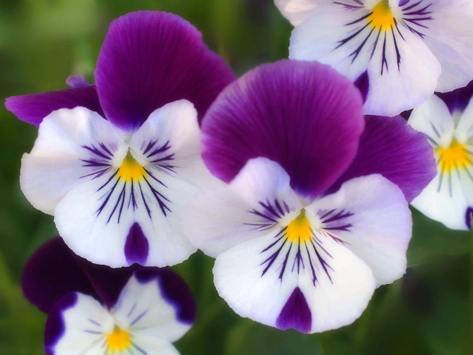 Цветок святой Троицы анютины глазки фото