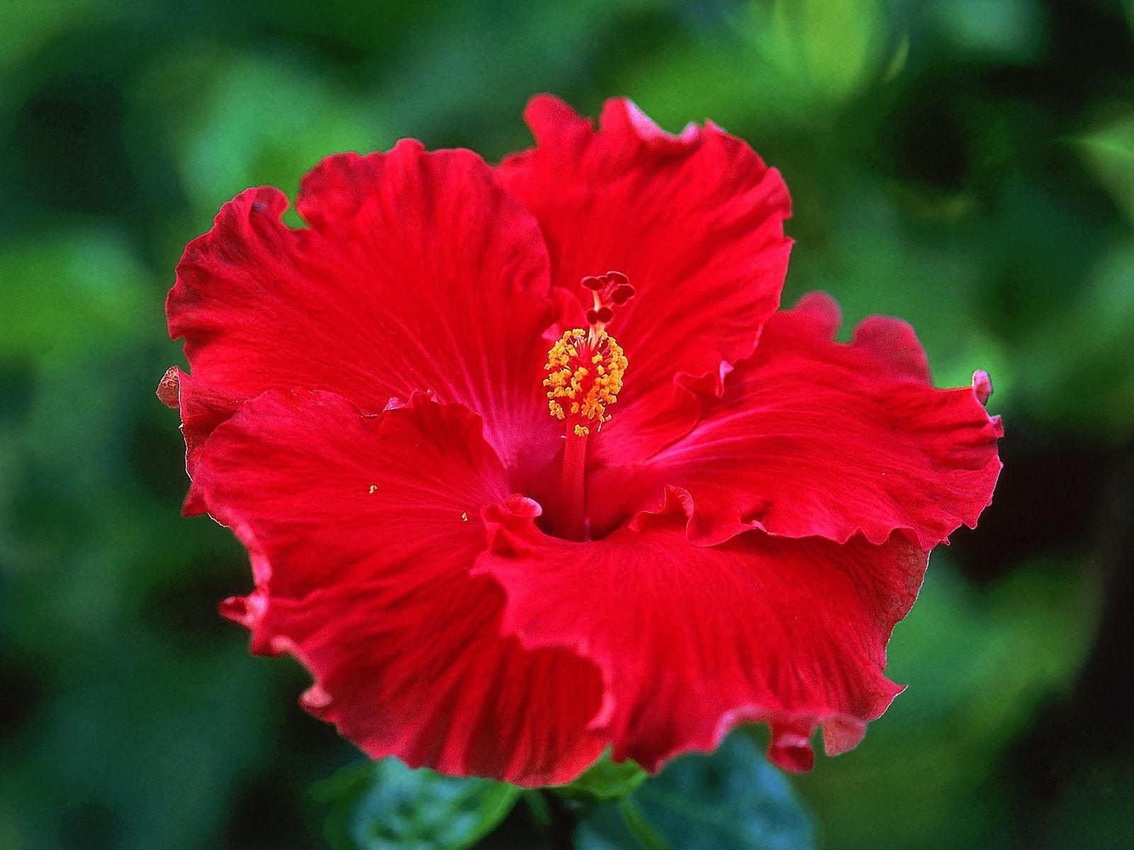 Красный цветок название фото