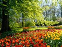 Клумба тюльпанов в парке