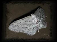 Бабочка моль убитая иглой