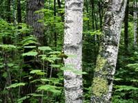 Фото 2.. Обои с природой для рабочего стола: деревья