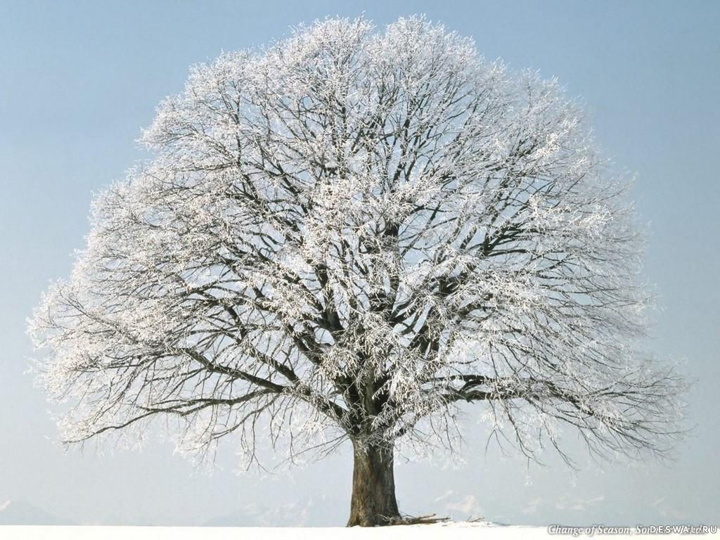Обои на рабочий стол дерево в снегу