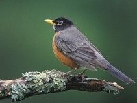 Птичка серая с коричневым брюшком