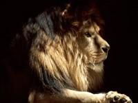 Морда льва с гривой