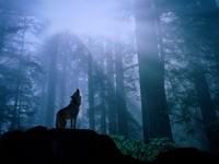 Волк в лесу воет