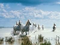 Стадо белых лошадей бегущие по воде