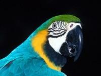 Попугай березовый с желто-зеленым окрасом