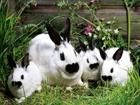 Четверо бело-черных кроликов