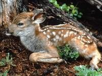 Маленький оленёнок
