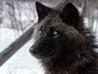 Морда черного волка