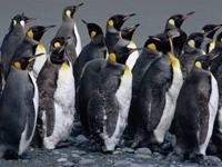 Стадо пингвинов