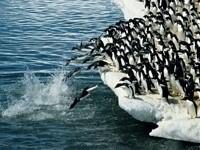 Колония пингвинов прыгают с льдины