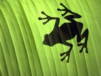 Тень лягушки