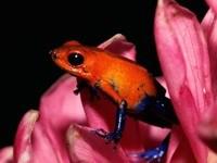 Лягушка оранжево-синего окраса