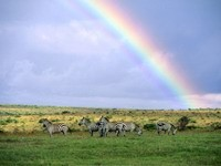 Пять зебр - пасутся