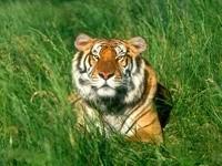 Наблюдательный тигр в траве