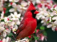 Красная птичка на цветущей ветке