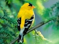 Птичка желто-черного окраса на ветке