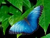 Бабочка голубого окраса на листьях