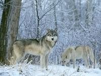Два волка в зимнем лесу