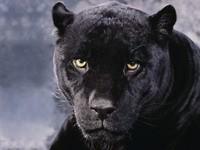Черный леопард, пантера