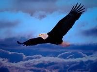 Белоголовый орлан в полете
