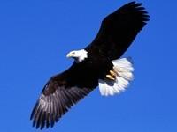 Орлан в небе