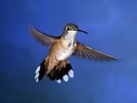 Серая колибри