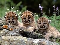 Три малыша леопардов