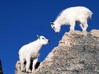 Две козы на горах