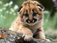Один малыш леопарда